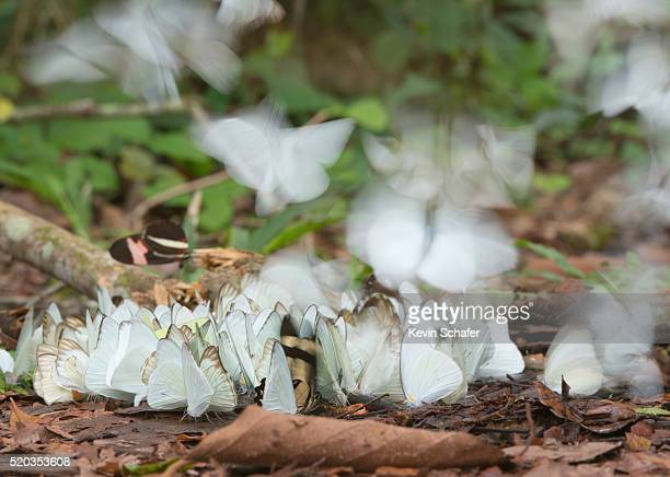 butterflies feeding on salt on forest floor, pantanal, brazil - mato grosso state stock pictures, royalty-free photos & images