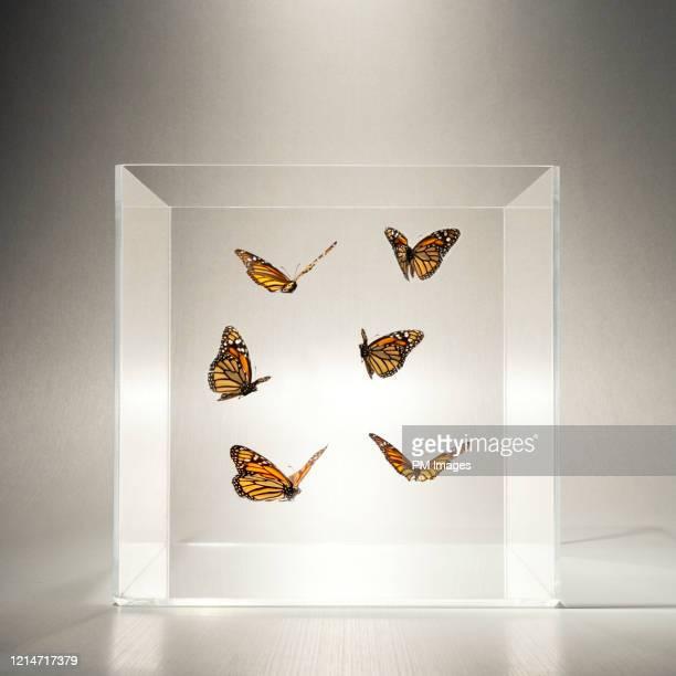 butterflies in a clear box - schmetterling stock-fotos und bilder
