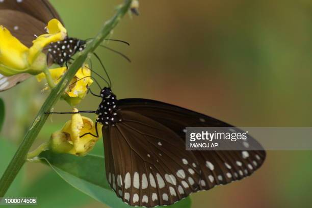 Butterflies of Kottakunnu
