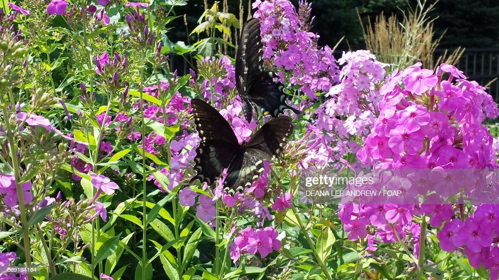Butterflies on the pink flowers : Stock Photo