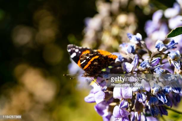 butterflies - mountain laurel stock pictures, royalty-free photos & images