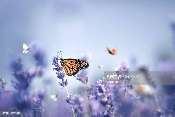butterflies - purple stock pictures, royalty-free photos & images