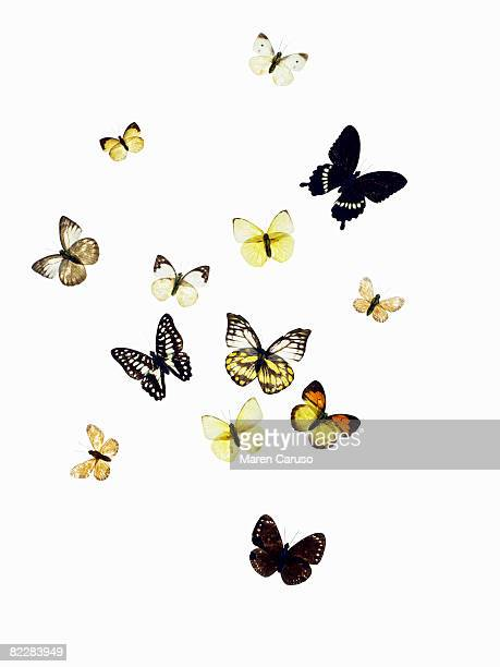 Butterflies shot on white