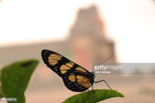 Butterfly Actinote pellenea.