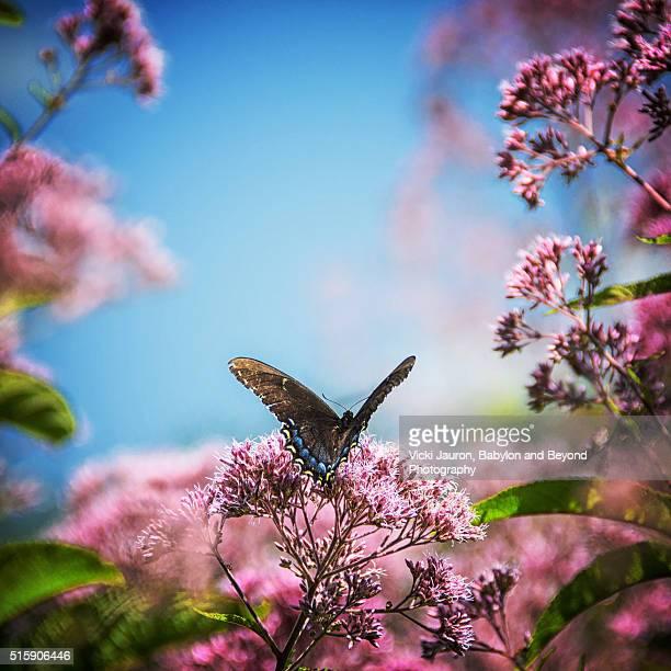 Butterfly against Joe Pye Weed (eutrochium fistulosum) at Longwood Gardens, Pennsylvania
