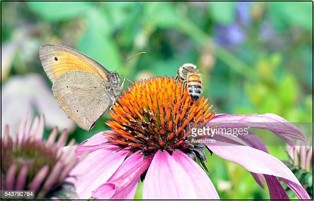 butterfly and honey bee on flower