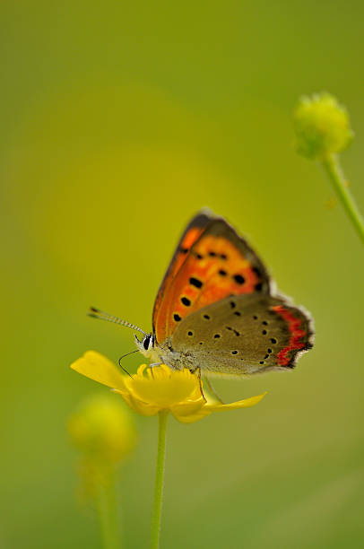 Butterfly and Japanese buttercup