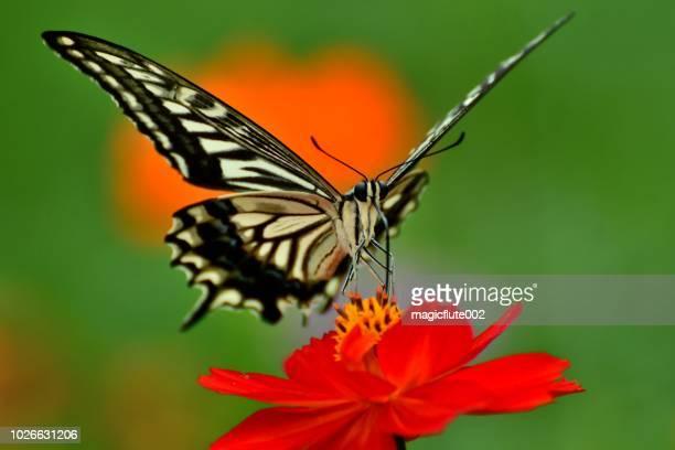 蝶とコスモス オレンジ/黄色の花 - 花粉 ストックフォトと画像