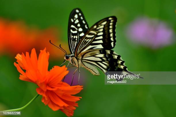 butterfly and orange/yellow cosmos flowers - july stock pictures, royalty-free photos & images
