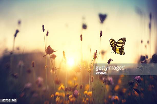 butterfly at sunset - bloem plant stockfoto's en -beelden
