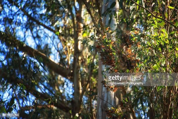 butterfly bunch - highlywood fotografías e imágenes de stock