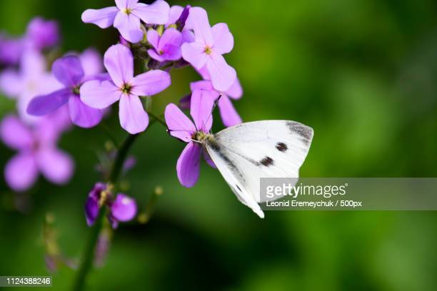 butterfly cabbage pollinates a purple flower. - crucifers stock pictures, royalty-free photos & images