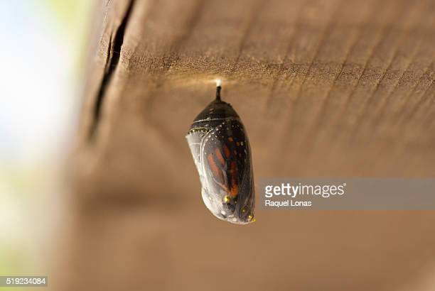 Butterfly chrysalis in final stage
