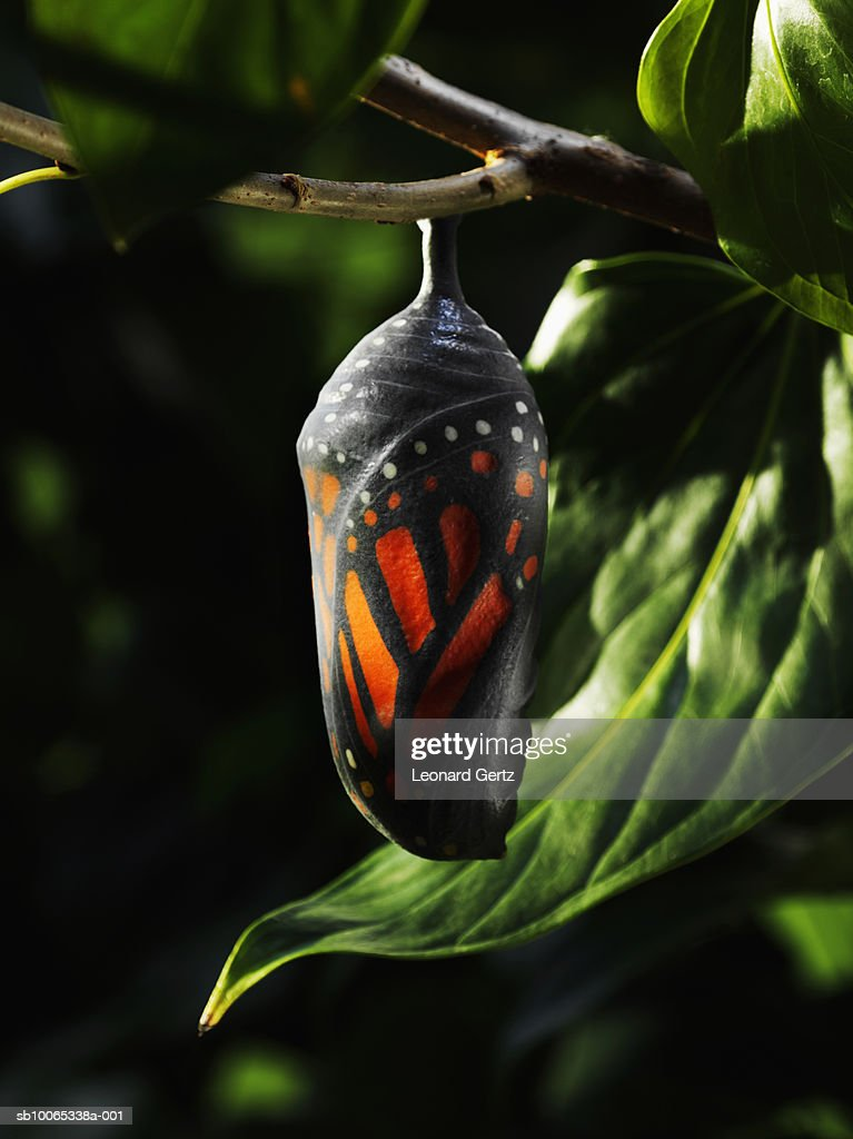 Butterfly chrysalis on tree branch : Stock Photo