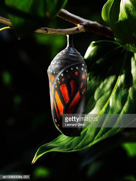 Butterfly chrysalis on tree branch