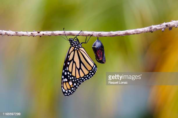 butterfly clings to branch next to chrysalis - puppe stock-fotos und bilder