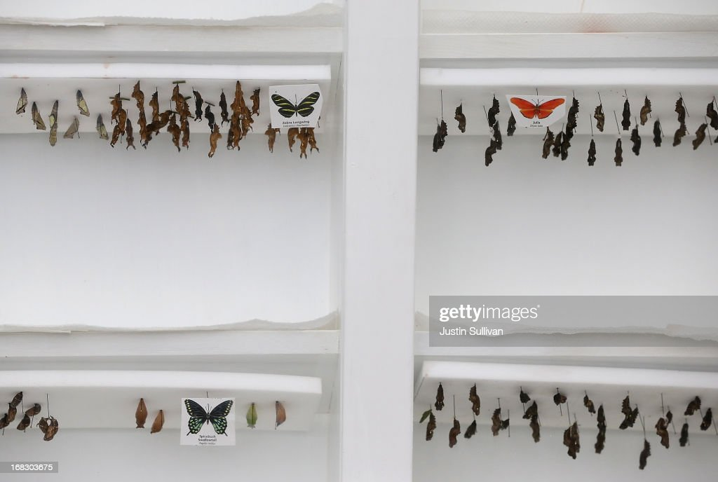 Butterfly cocoons are displayed during the first day of the 'Butterflies and Blooms' exhibit at the Conservatory of Flowers in Golden Gate Park on May 8, 2013 in San Francisco, California. The popular 'Butterflies and Blooms' exhibit has returned to the Conservatory of Flowers and features more than 20 species of North American butterflies including Monarchs, Western Swallowtails and more.
