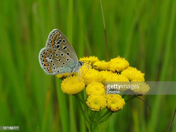 butterfly common blue - tansy stock pictures, royalty-free photos & images