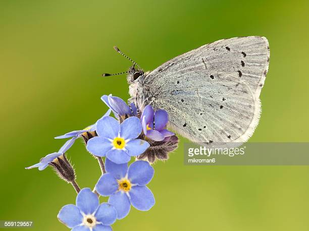 Butterfly common blue (Polyommatus icarus)