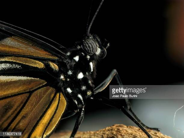 butterfly detailed close-up - sorocaba stock pictures, royalty-free photos & images