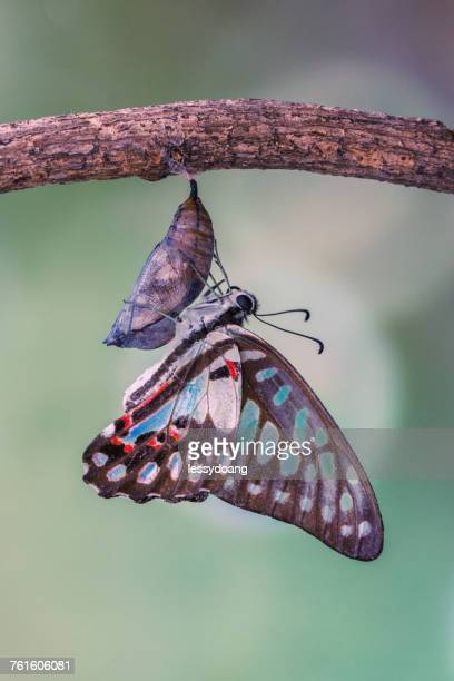 Butterfly emerging from chrysalis, Indonesia