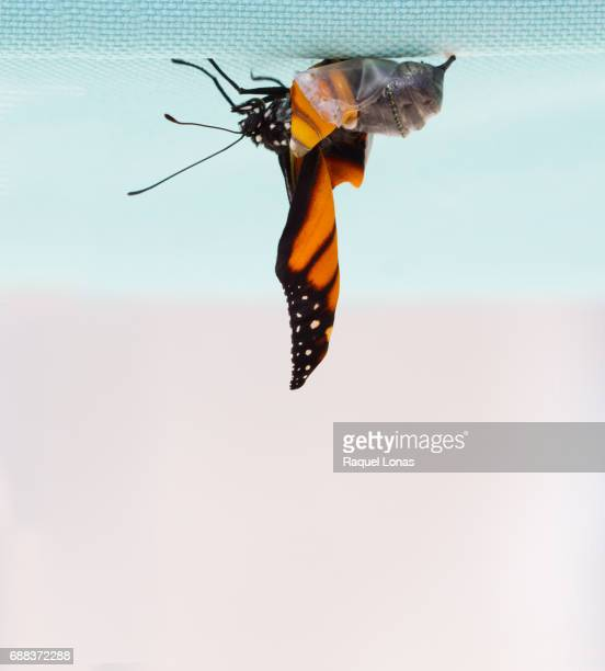 butterfly emerging from chrysalis - appearance stock photos and pictures
