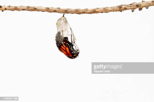 butterfly emerging from its chrysalis - hatching stock pictures, royalty-free photos & images