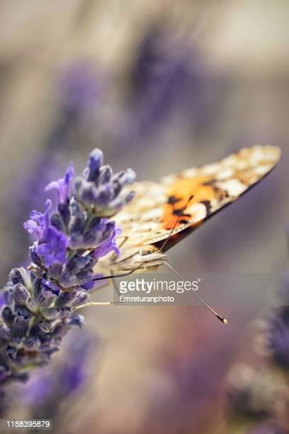 butterfly feeding on a lavender flower in cesme,turkey. - emreturanphoto fotografías e imágenes de stock