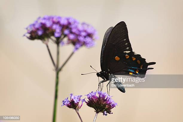 butterfly feeding on lantana - lowenbach stock photos and pictures