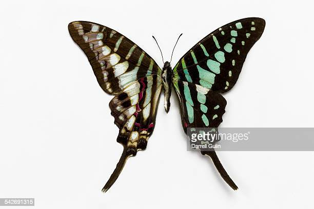 Butterfly Graphium policenes