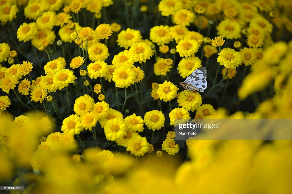 A Butterfly having nectar from a showcased flower during 10th Chrysanthemum Flower Expo 2016 at Jawalakhel, Lalitpur, Nepal on Wednesday, October 26, 2016. The flower expo runs for 4 days.