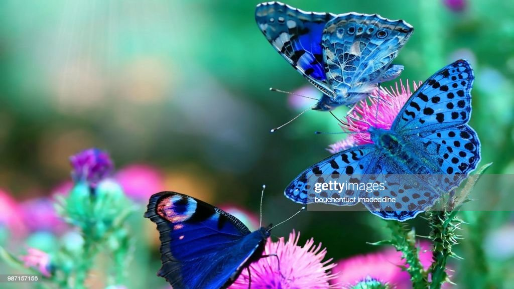Butterfly Hd Wallpapers Best Background Butterfly Images