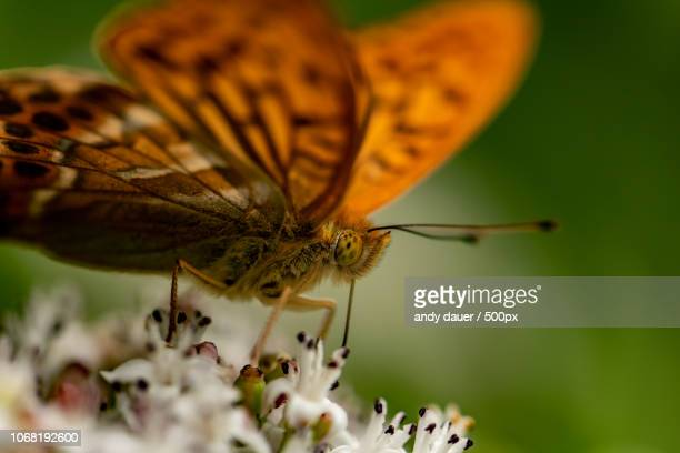 butterfly in extreme close-up - andy dauer stock photos and pictures