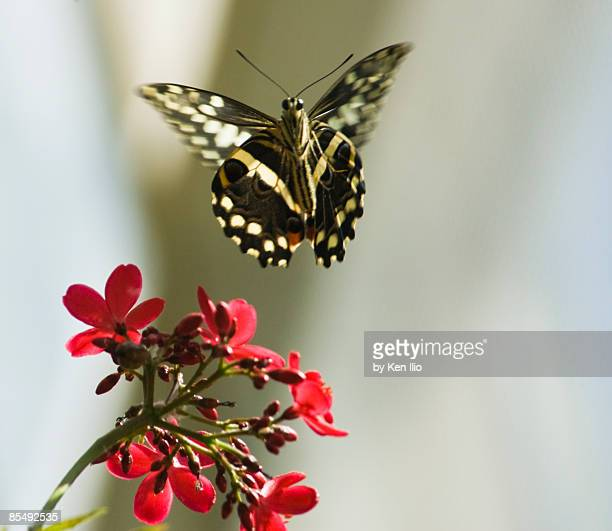 butterfly in flight - ken ilio stock pictures, royalty-free photos & images