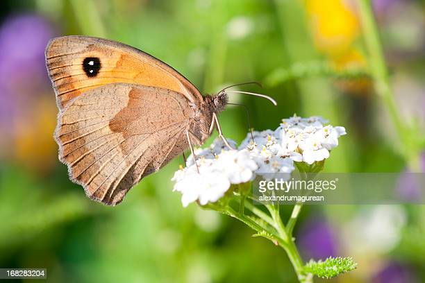 butterfly in sunset light - yarrow stock pictures, royalty-free photos & images