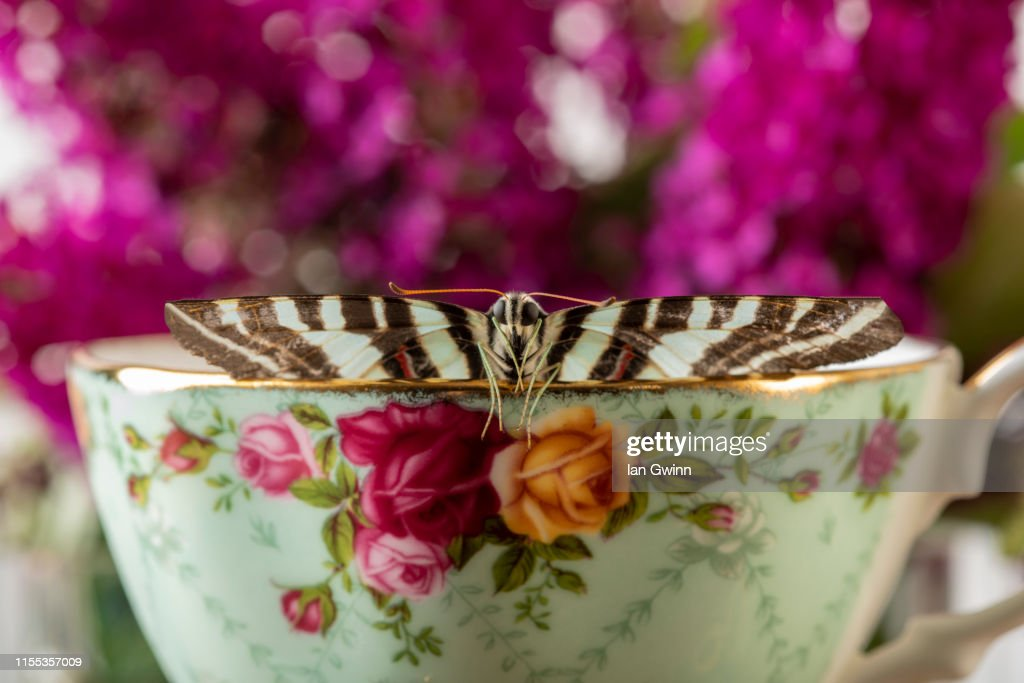 Butterfly in Teacup : Stock Photo
