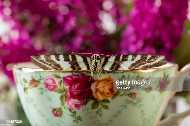 butterfly in teacup - ian gwinn - fotografias e filmes do acervo