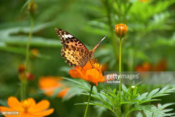 A butterfly, Indian Fritillary and Flowers of Cosmos