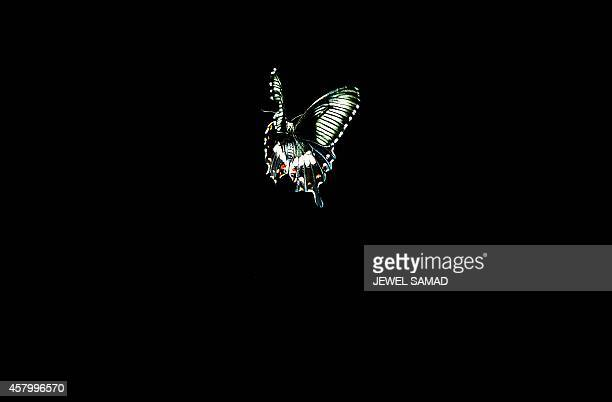 A butterfly is pictured flying under a light during a special preview of 'The Butterfly Conservatory Tropical Butterflies Alive in Winter' for...