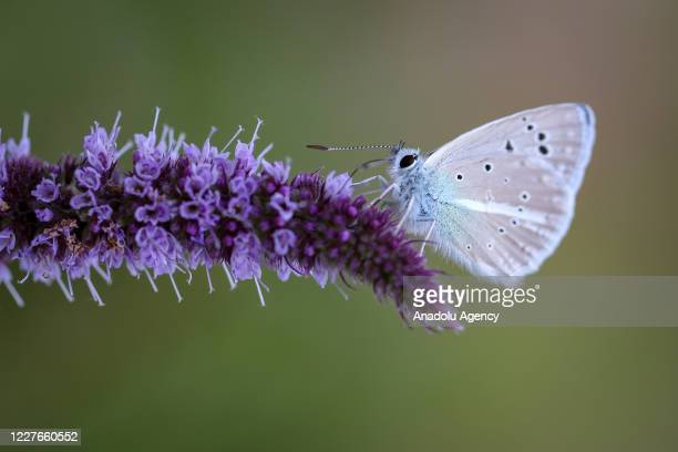 Butterfly is seen at a valley in Catak district of Van, Turkey on July 16, 2020.
