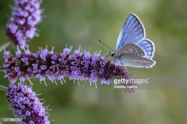 Butterfly is seen in Catak district, which host different species of butterfly, of Van, Turkey on July 16, 2020.