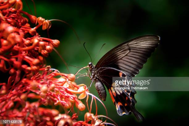 Butterfly is taking nectar.