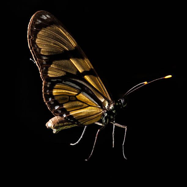 Butterfly Isolated On Black, Ubajara National Park, Ceara, Brazil