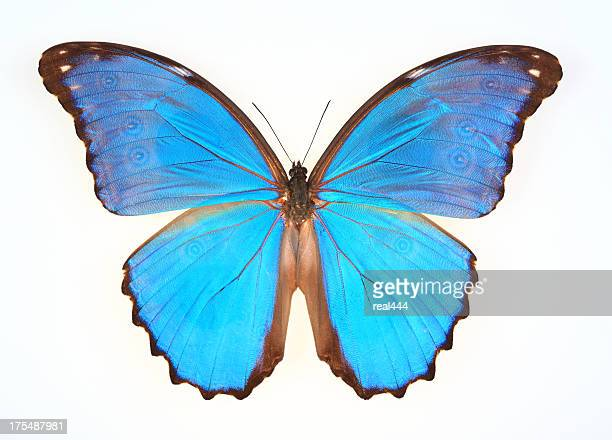 butterfly isolated on white(morpho menelaus) - spread wings stock pictures, royalty-free photos & images
