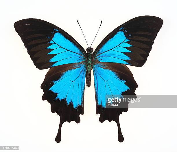 butterfly isolated on white(Ulysses Swallowtail)