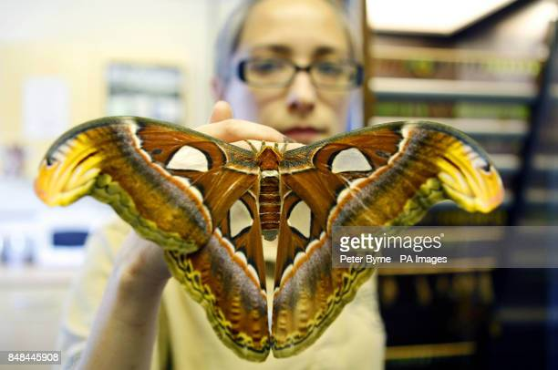 Butterfly keeper Heather Prince holds one of the Newly emerged Atlas Moths with a wingspan of 30cm it is the largest moth species in the world but...