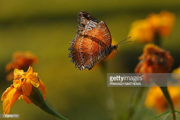A butterfly lands on a marigold flower at the Godavari Botanical garden on the outskirts of Kathmandu on November 15 2011 Over 600 varieties of...