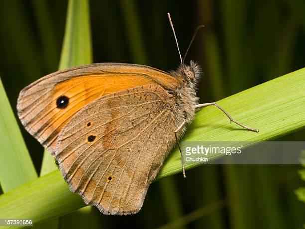 Butterfly Meadow Brown