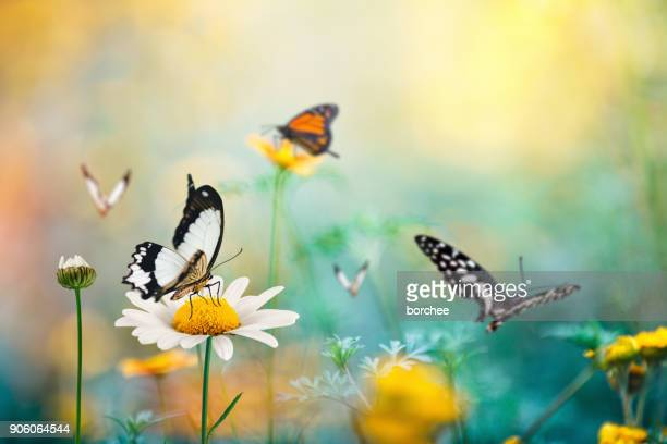 schmetterling meadow - schmetterling stock-fotos und bilder