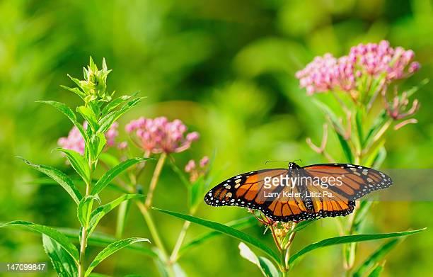 Butterfly Monarch pink flowers